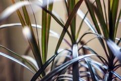 花室龙血树属植物 免版税库存照片