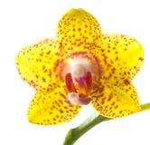 花开花兰花兰花兰花植物黄色 免版税图库摄影