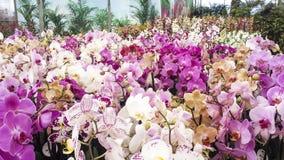 花开花兰花兰花兰花植物 飞蛾或兰花植物兰花,美丽的五颜六色的b 免版税图库摄影