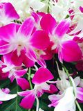 花开花兰花兰花兰花植物 图库摄影