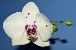 花开花兰花兰花兰花植物 库存图片