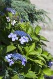 花开花在庭院里的Blaumeise八仙花属的布什 库存图片