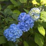 花开花在庭院里的Blaumeise八仙花属的布什 免版税库存图片