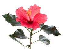 花开花木槿叶子宏观红色 免版税图库摄影