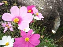 花开花桃红色白色庭院 库存照片