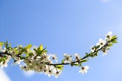 花开花的布拉斯李树 免版税库存照片