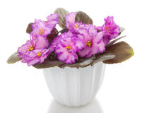 花开花盆的非洲堇 库存图片