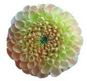 花彩虹绿色桃红色大丽花 在瓣的露水 白色与裁减路线的被隔绝的背景 特写镜头 没有影子 库存照片