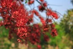 花心皮红色在庭院公园 库存图片