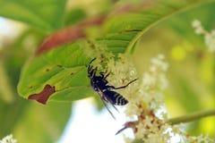 花授粉的黄蜂 库存图片