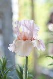 花提取乳脂在五颜六色的背景由后照的虹膜 库存图片