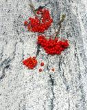 花揪分支与束在White gr贵族的成熟莓果 免版税库存照片