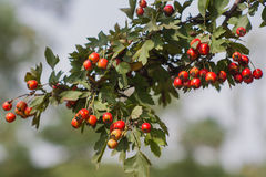 花揪分支在顿涅茨克植物园里 库存照片