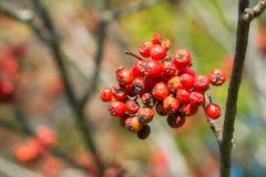 花揪分支用红色莓果 库存照片