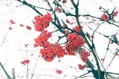 花揪在早期的冬天 库存图片