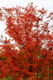 花揪在秋天 免版税库存照片