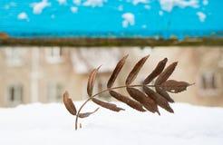 花揪干燥板料特写镜头在一个木蓝色委员会的背景的在冬天 免版税图库摄影