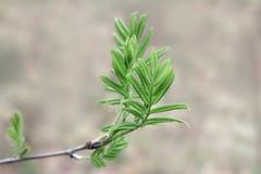 花揪年轻分支与嫩叶子的在春天 免版税库存照片