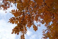 花揪明亮的橙色叶子反对天空的在11月 免版税库存照片