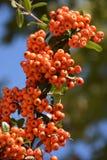 花揪树用花楸浆果 库存图片
