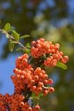 花揪树用花楸浆果 免版税图库摄影