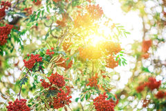 花揪树用花楸浆果 免版税库存照片