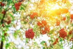 花揪树用花楸浆果 库存照片