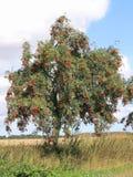 花揪用成熟莓果,山梨aucuparia 图库摄影