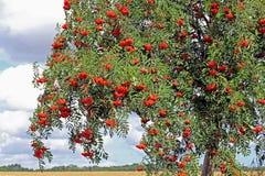 花揪用成熟莓果,山梨aucuparia 免版税库存图片
