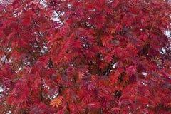 花揪美丽的红色秋叶  免版税库存图片