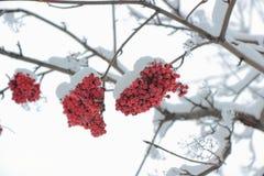 花揪葡萄在雪之下的。 免版税图库摄影