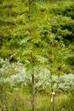花揪(山脉灰)树 免版税图库摄影