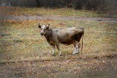 花斑母牛在秋天草甸站立 免版税库存图片