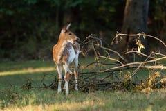 花斑白尾鹿小鹿 图库摄影