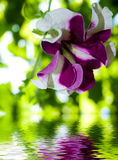 花新鲜的反射的夏天紫罗兰水 免版税库存图片