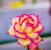 花新鲜的庭院室外colorfull 免版税图库摄影