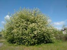 花春天爆炸在灌木的 库存照片