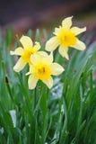 水仙花春节 白色黄水仙在庭院里 免版税图库摄影