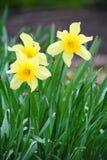 水仙花春节 白色黄水仙在庭院里 免版税库存图片