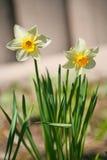 水仙花春节 白色黄水仙在庭院里 库存照片