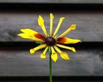 花是十二个黄色瓣 黄色 browne 词根 免版税库存照片
