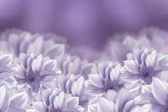 花是在紫色背景的白色大丽花 背景构成旋花植物空白花的郁金香 库存图片