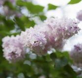 花是在绿色叶子背景的淡粉红的丁香  免版税库存照片