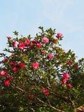 花是开花的sasanqua 免版税库存照片
