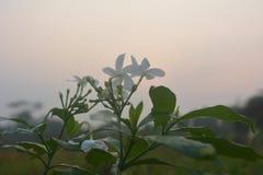 花有天空背景早晨 库存图片