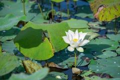 花有空白i莲花被绘的照片的水彩 图库摄影