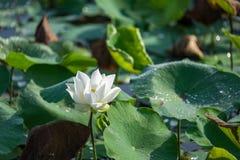 花有空白i莲花被绘的照片的水彩 库存照片