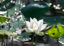 花有空白i莲花被绘的照片的水彩 免版税库存照片