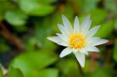 花有空白i莲花被绘的照片的水彩 免版税图库摄影