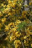 花期灌木黄色开花  库存照片